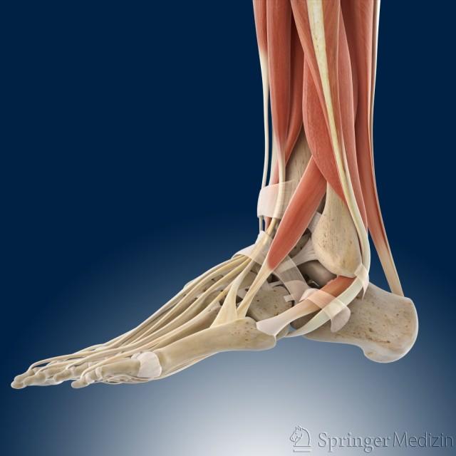 Auf dieser Abbildung sehen Sie den Fuß von der Seite. Sie schauen auf die Außenseite vom Fuß und vom Unterschenkel. Sie sehen die langen Fußmuskeln.