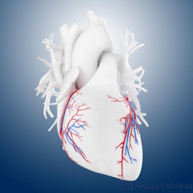 Das Herz und die Herz-Kranzgefäße in der Ansicht von vorn