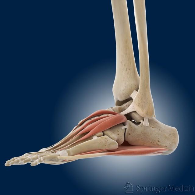 Auf dieser Abbildung sehen Sie den Fuß von der Seite. Sie schauen auf die Außenseite vom Fuß. Sie sehen die kurzen Fußmuskeln oben auf dem Fußrücken und unten an der Fußsohle.